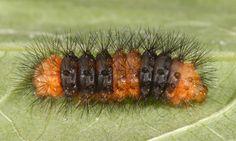 Early instar giant woolly bear, Hypercompe scribonia (Stoll 1790).