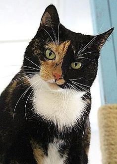 Pictures of Clover (Westhampton) a Domestic Shorthair for adoption in New York, NY who needs a loving home.