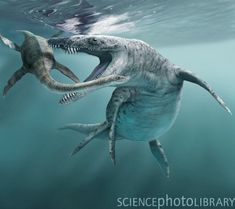 LIOPLEURODON was the biggest plesiosaur. Liopleurodon was not a dinosaur, but a short-necked plesiosaur (a pliosaur), an extinct, swimming reptile. It lived during the late Jurassic period in Europe and Eastern Europe. It was a carnivore which ate fish,ic Sea Dinosaurs, Prehistoric Dinosaurs, Prehistoric World, Dinosaur Fossils, Dinosaur Art, Prehistoric Creatures, Dinosaur History, Reptiles, Mammals
