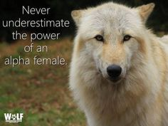 """Ecologist and author Carl Safina learns from wolves that this stereotype is not only wrong, but also that. """"It's the alpha female who really runs the show. Lone Wolf Quotes, Wolf Qoutes, Of Wolf And Man, Pomes, Wolf Stuff, Wolf Spirit Animal, Wolf Wallpaper, Wolf Love, Wolf Pictures"""