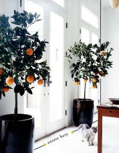 Orange trees by door.