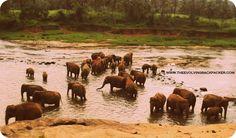 http://theevolvingbackpacker.com/sri-lanka-kandy-pinnewala-elephant-orphanage-and-peridanaya-gardens/