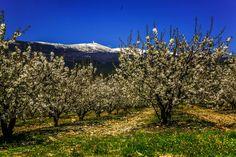 Neige au Ventoux et cerisiers en fleurs en Ventoux Sud