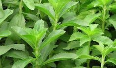 O extrato de Estévia ou Stevia é 300 vezes mais doce do que a cana de açúcar mas não tem calorias