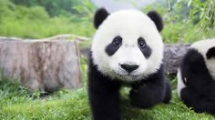 #Cryptocurrency  #Pandacoin (PAND) http://www.digitalpandacoins.com/  #cryptocurrency #altcoin