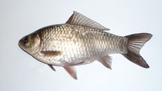 Hundreds of Prussian carp — a female fish that can replicate itself using sperm from other species — have been found in Saskatchewan waters. Common Carp, 120 Gallon Aquarium, Aquarium Fish, Carp Fishing, Fishing Tips, Information About Fish, Channel Catfish, Cheap Pets, Pisces