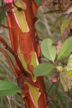 Though it looks exotic, Pacific madrone — a beautiful broadleaf evergreen tree with a captivating and distinctive presence that transforms with the seasons — is endemic to the Pacifi… Arbutus Tree, Evergreen Forest, Home Garden Plants, Native Plants, Pacific Northwest, Botanical Gardens, North West, Nativity, Nature Photography
