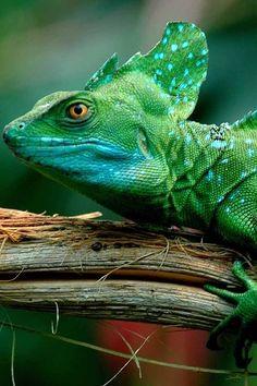 ♥ lizards.....