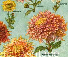 1922 Antique Chrysanthemum print. Mums by sofrenchvintage on Etsy