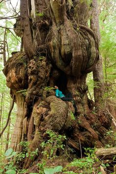 """Bulbus Cedar """"One of the most phenomenal trees on this planet! This alien like redcedar grows near the Cheewhat Cedar in Pacific Rim National Park on Vancouver Island."""" Boy, what a tree house tree this is. Weird Trees, Old Trees, Unique Trees, Nature Tree, Flowers Nature, Tree Forest, Parcs, Vancouver Island, Tree Art"""