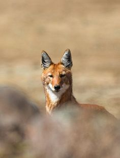 Ethiopian wolf Canis simensis, Bale Mountains