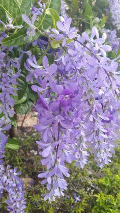 "Flor ""Penitente"""