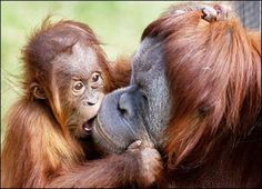 """Please do not buy products with palm oil!  Even most that say """"sustainable"""" are destroying the Orangutans.  Thank you! http://www.orangutan.org.au/palm-oil"""