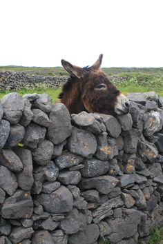 Adorable donkey in Aran Islands, Co. Galway, Ireland. Co. Galway travel guide & tips: goireland.about.com/od/countygalwayandgalway/tp/Things-To-Do-In-County-Galway.htm