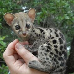 Exotic pet, the Genet - All the Creatures