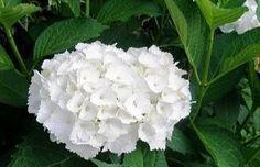 Aprenda plantar e cuidar da bela e imponente hortência