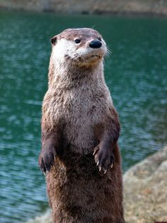 I was given an imaginary otter called Silver Spoon. He generally wears bow ties, but took his off for this photoshoot.