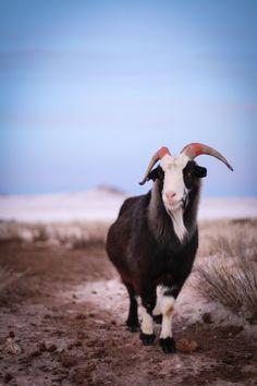 Mongolian cashmere goat. Mongolia Tour. Close to Ulaanbaatar. Ger. Nomadic.