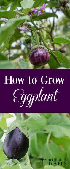 Learn how to grow Eggplant! Gardening tips on how to plant eggplant seeds or seedlings, how to care for eggplant in the garden, and how to harvest eggplant.