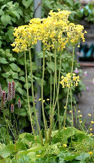 "Primula florindae ""Tibetan Summer Bells"" - for shady garden, zone Bog Garden, Garden Oasis, Shade Garden, Garden Plants, Primula Auricula, Plant Zones, Coral Bells, Primroses, Shade Plants"