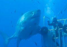 Mais sobre Deep Blue o maior tubarão já filmado - EExpoNews