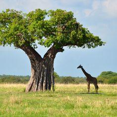 #baobabTrees #Tanzania #Kenya Tanzania, Kenya, Avalon Waterways, Crystal Cruises, P&o Cruises, Baobab Tree, Holland America Line, Norwegian Cruise Line, Celebrity Cruises