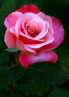 ✿⊱❥ Pink Rose