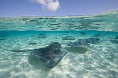Stingray City is one of the most popular things to do on Grand Cayman Island. Learn how you can take a boat to the sandbar and swim with stingrays. Maui Vacation, Beach Trip, Hawaii Beach, Oahu Hawaii, Beach Travel, Grand Cayman Island, Cayman Islands, Stingray City Grand Cayman, Yacht Cruises