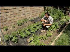 Backyard Homestead Tomato Progress in Landscape Fabric by the California Gardener