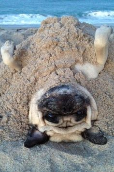Pug buried in sand. I did this last summer