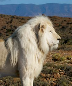 A white lion! Along with dozen of other rare and unusual animals