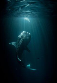Stunning capture of a whale shark