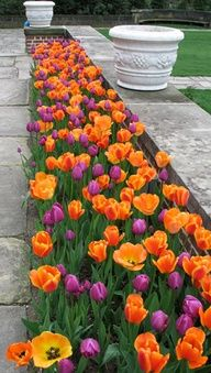 tulip border - could use purple violas and princess Irene tulips?