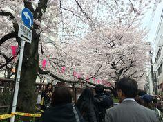 Цветение сакуры на Накамегуро, 2016г. 中目黒の桜、2016年 Sakura at Nakameguro, 2016y.