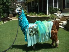 Llama Twist wearing the prissy peacock costume that I made. Llamas, Funny Animal Pictures, Funny Animals, Cute Animals, Animal Pics, Funny Llama, Llama Llama, Llama Images, Llama Costume