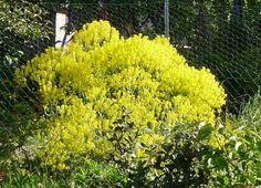 waid/woad/isatis tinctoria in my garden