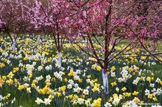 filoli daffodil에 대한 이미지 검색결과