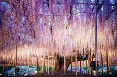 Giappone, l'Albero della Vita che ha ispirato Avatar in piena fioritura - Repubblica.it Mobile
