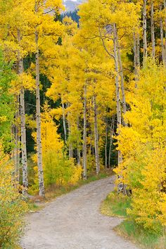 Forest Road Colorado Autumn So Peaceful and soothing. Nature is beautiful The Caregiver's Bill of Rights Forest Road, Tree Forest, Beautiful World, Beautiful Places, Autumn Scenes, Aspen Trees, Foto Art, Best Photographers, Mellow Yellow