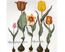 """Tulipes tirées de """"L'Herbier des Quatre Saisons"""" ou """"Jardin d'Eichstätt"""" de Basilius Besler (1613).  Afficher l'image d'origine"""