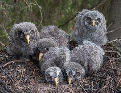 Great Grey Owl nestlings (Strix nebulosa).