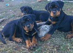 "Excellent ""rottweiler puppies"" info is offered on our web pages. Dog Training Methods, Basic Dog Training, Training Dogs, Rottweiler Love, Rottweiler Puppies, Pet Dogs, Dogs And Puppies, Doggies, Puppy Obedience Training"