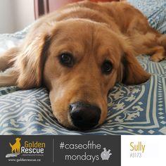 Ok, Monday. Let's do this! #caseofthemondays #goldenretriever #rescuedog #adoptdontshop Sully, Rescue Dogs, Adoption, Animals, Foster Care Adoption, Animales, Animaux, Animal, Animais