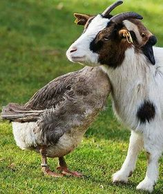 30 Happy Animal Facts That Will Make You Smile Happy Animals, Farm Animals, Animals And Pets, Funny Animals, Cute Animals, Unusual Animals, Animals Beautiful, Unlikely Animal Friends, Unusual Animal Friendships