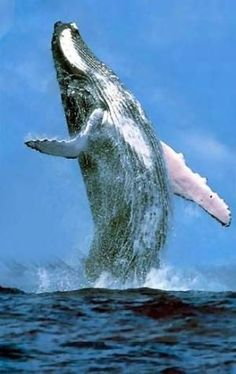 Humpback whale watching in Dominican Republic . Orcas, Beautiful Creatures, Animals Beautiful, Fauna Marina, Photo Animaliere, Water Animals, Wild Animals, Baby Animals, Dolphins