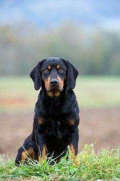 Slovensky Kopov Animals Beautiful, Cute Animals, Dog List, Purebred Dogs, Hound Dog, Black Forest, Doge, Mans Best Friend, Dog Breeds