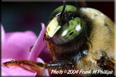 """""""Hands On"""" - This is the most cooperative bumblebee I've ever photographed."""