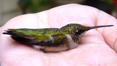 A male ruby-throated hummingbird, a first-year hatchling just 6-10 weeks old, rests in the hand of licensed bander Julia Elliott