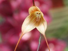 Uma orquídea com cara de símio e dentes de Drácula.