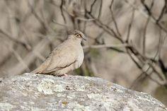 mis fotos de aves: Metriopelia morenoi Palomita ojo desnudoBare-eyed ...